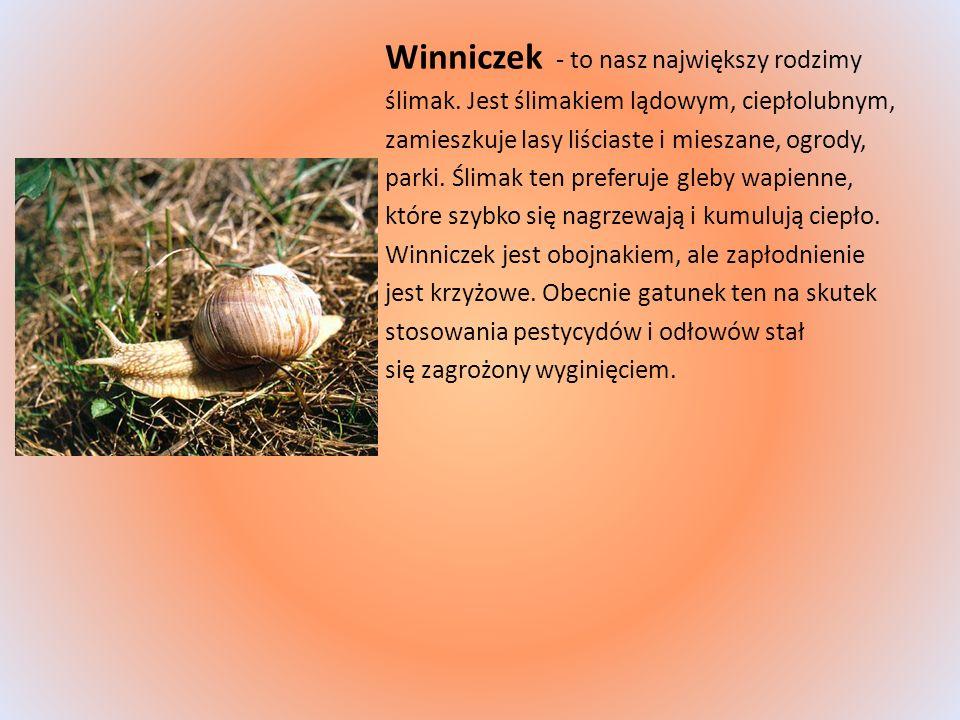 Winniczek - to nasz największy rodzimy ślimak. Jest ślimakiem lądowym, ciepłolubnym, zamieszkuje lasy liściaste i mieszane, ogrody, parki. Ślimak ten