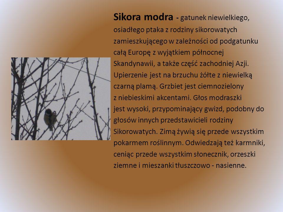 Sikora modra - gatunek niewielkiego, osiadłego ptaka z rodziny sikorowatych zamieszkującego w zależności od podgatunku całą Europę z wyjątkiem północn