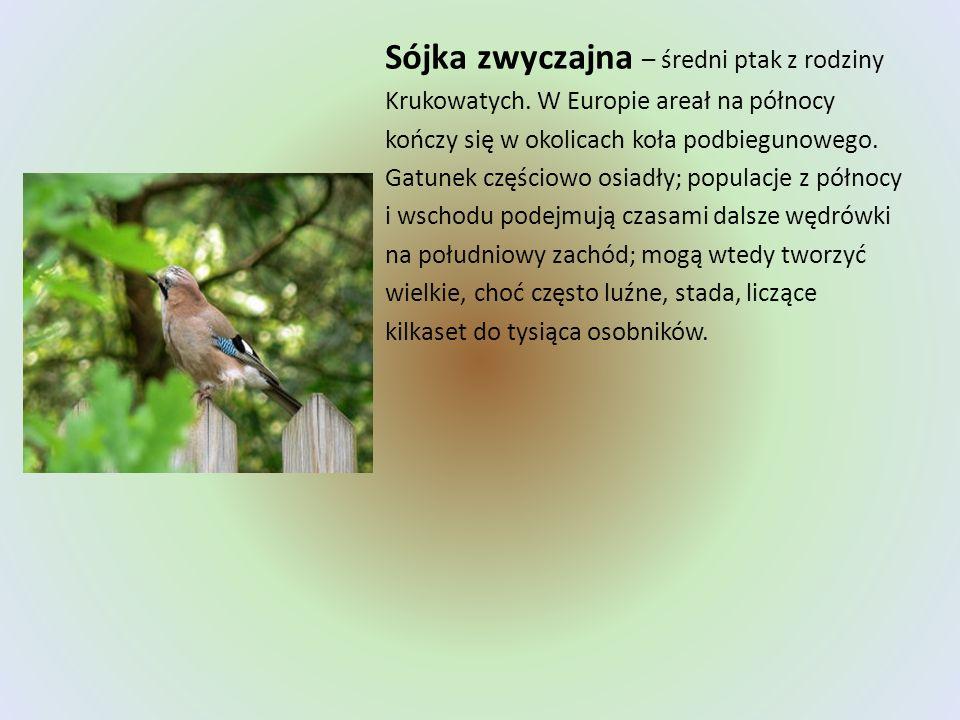 Sójka zwyczajna – średni ptak z rodziny Krukowatych. W Europie areał na północy kończy się w okolicach koła podbiegunowego. Gatunek częściowo osiadły;