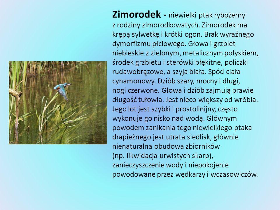 Zimorodek - niewielki ptak rybożerny z rodziny zimorodkowatych. Zimorodek ma krępą sylwetkę i krótki ogon. Brak wyraźnego dymorfizmu płciowego. Głowa