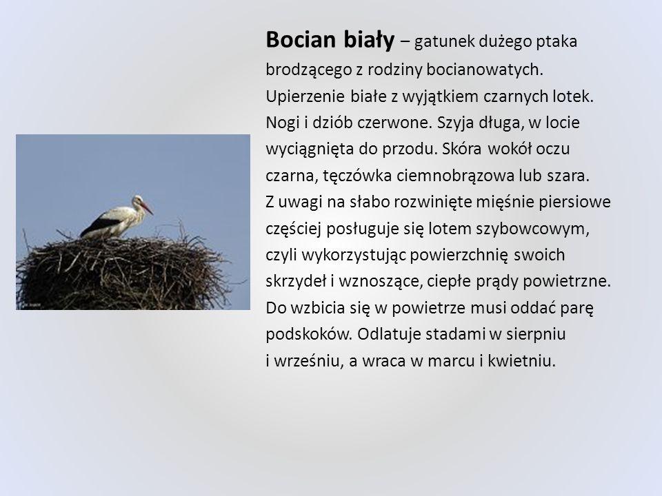 Bocian biały – gatunek dużego ptaka brodzącego z rodziny bocianowatych. Upierzenie białe z wyjątkiem czarnych lotek. Nogi i dziób czerwone. Szyja dług