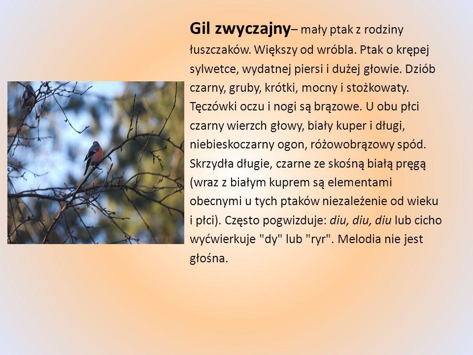 Gil zwyczajny – mały ptak z rodziny łuszczaków. Większy od wróbla. Ptak o krępej sylwetce, wydatnej piersi i dużej głowie. Dziób czarny, gruby, krótki