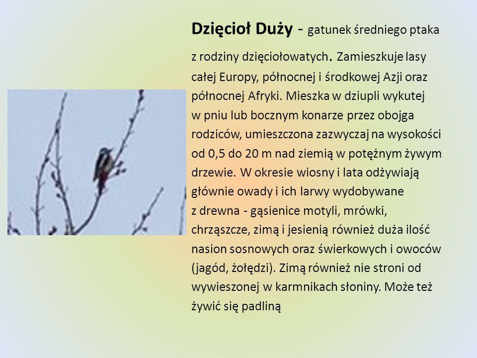 Dzięcioł Duży - gatunek średniego ptaka z rodziny dzięciołowatych. Zamieszkuje lasy całej Europy, północnej i środkowej Azji oraz północnej Afryki. Mi