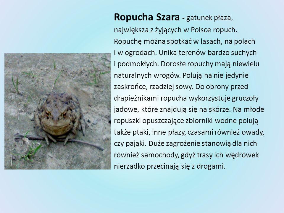 Ropucha Szara - gatunek płaza, największa z żyjących w Polsce ropuch. Ropuchę można spotkać w lasach, na polach i w ogrodach. Unika terenów bardzo suc