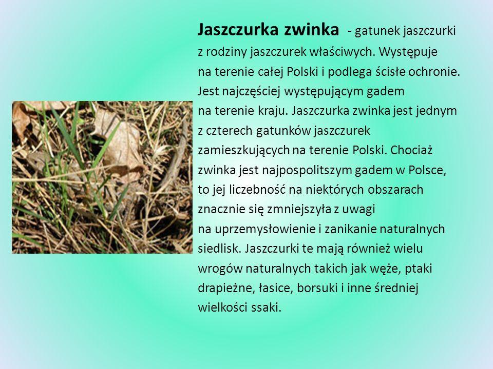 Jaszczurka zwinka - gatunek jaszczurki z rodziny jaszczurek właściwych. Występuje na terenie całej Polski i podlega ścisłe ochronie. Jest najczęściej