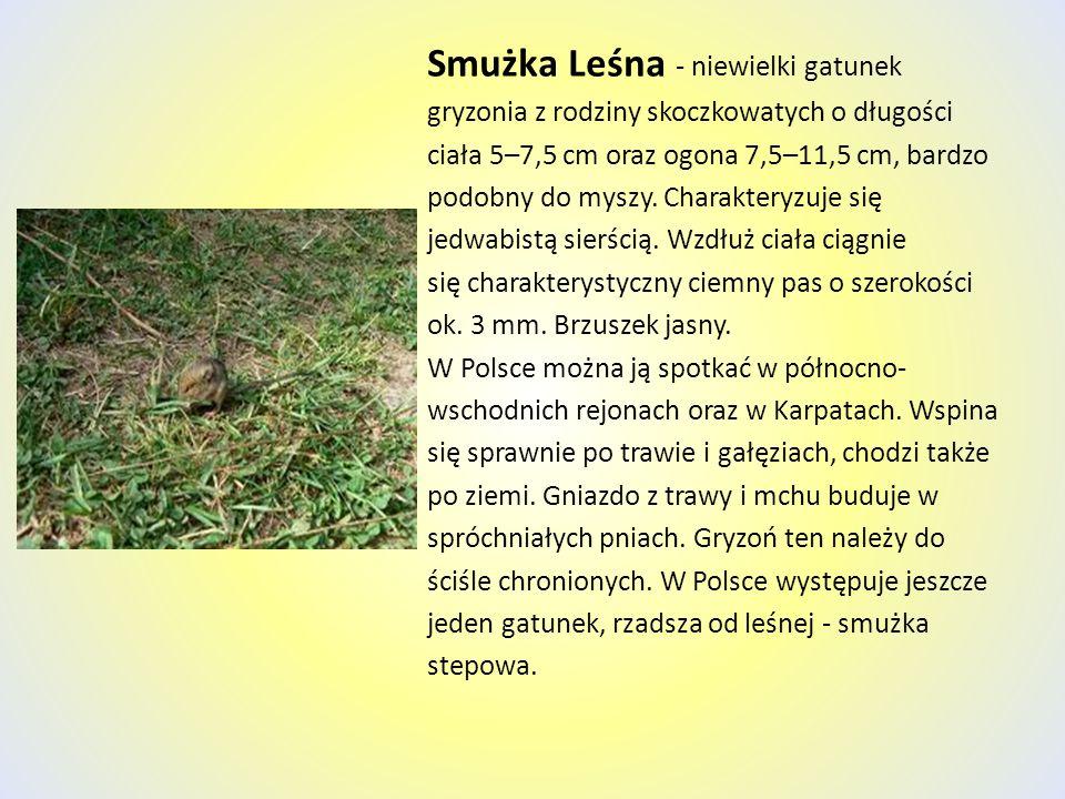 Smużka Leśna - niewielki gatunek gryzonia z rodziny skoczkowatych o długości ciała 5–7,5 cm oraz ogona 7,5–11,5 cm, bardzo podobny do myszy. Charakter
