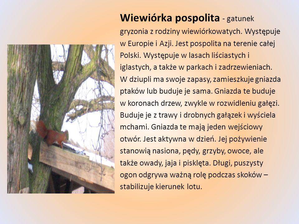 Wiewiórka pospolita - gatunek gryzonia z rodziny wiewiórkowatych. Występuje w Europie i Azji. Jest pospolita na terenie całej Polski. Występuje w lasa