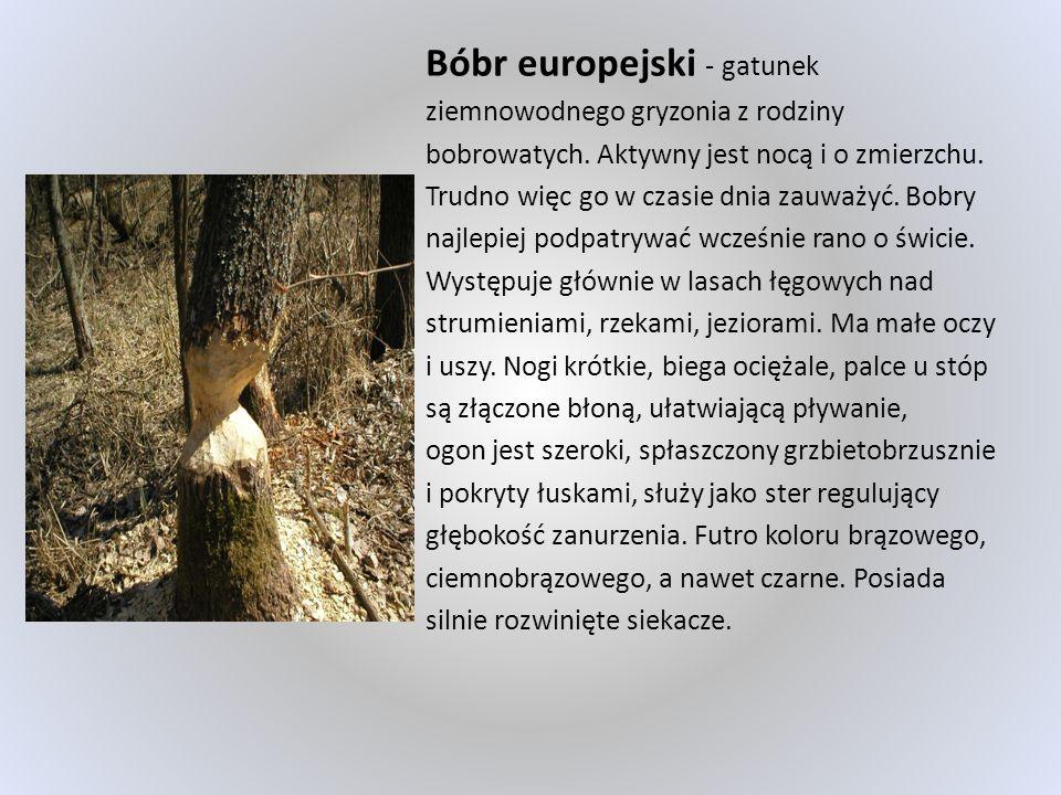 Bóbr europejski - gatunek ziemnowodnego gryzonia z rodziny bobrowatych. Aktywny jest nocą i o zmierzchu. Trudno więc go w czasie dnia zauważyć. Bobry
