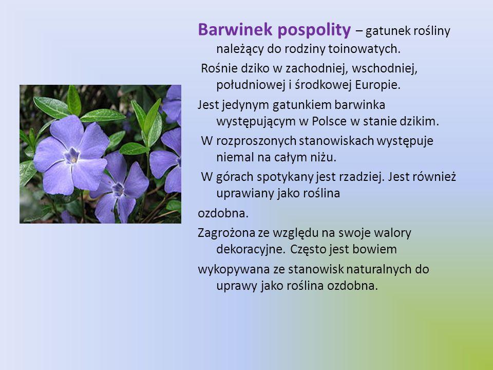 Barwinek pospolity – gatunek rośliny należący do rodziny toinowatych. Rośnie dziko w zachodniej, wschodniej, południowej i środkowej Europie. Jest jed
