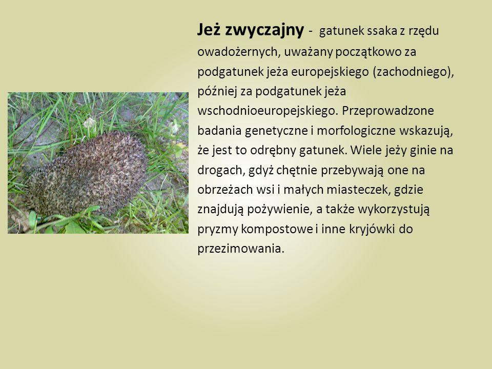 Jeż zwyczajny - gatunek ssaka z rzędu owadożernych, uważany początkowo za podgatunek jeża europejskiego (zachodniego), później za podgatunek jeża wsch