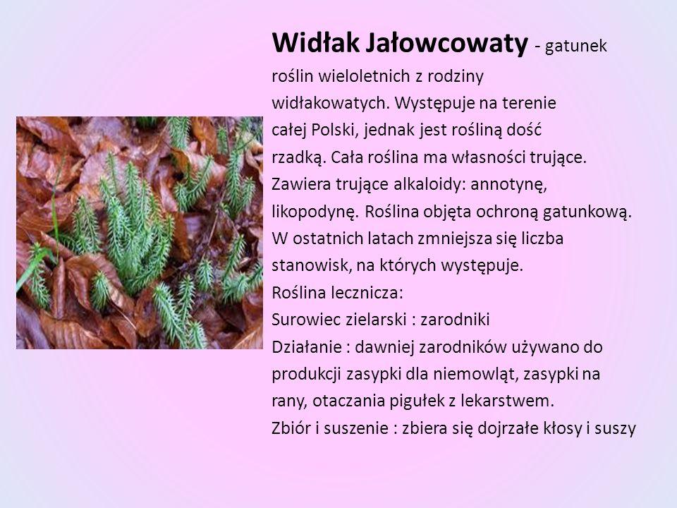 Widłak Jałowcowaty - gatunek roślin wieloletnich z rodziny widłakowatych. Występuje na terenie całej Polski, jednak jest rośliną dość rzadką. Cała roś