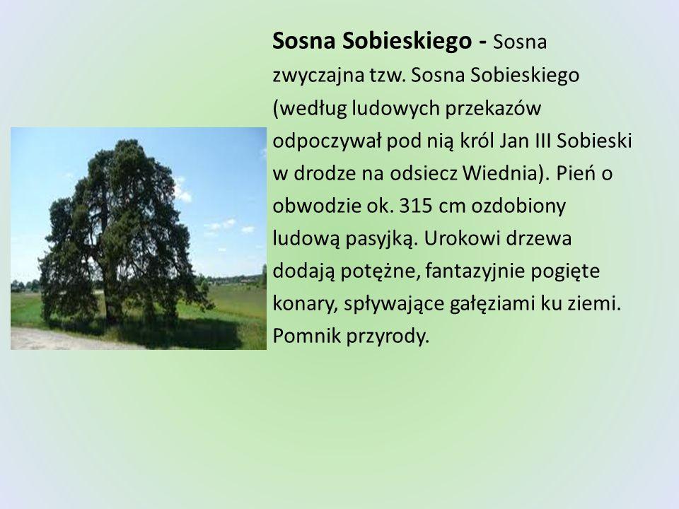 Sosna Sobieskiego - Sosna zwyczajna tzw. Sosna Sobieskiego (według ludowych przekazów odpoczywał pod nią król Jan III Sobieski w drodze na odsiecz Wie