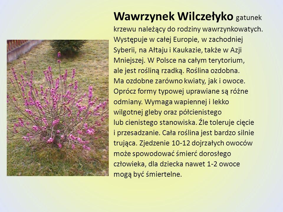 Wawrzynek Wilczełyko gatunek krzewu należący do rodziny wawrzynkowatych. Występuje w całej Europie, w zachodniej Syberii, na Ałtaju i Kaukazie, także