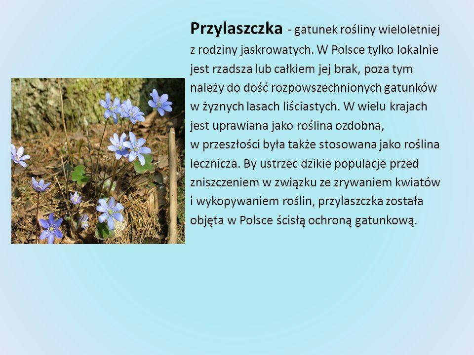 Przylaszczka - gatunek rośliny wieloletniej z rodziny jaskrowatych. W Polsce tylko lokalnie jest rzadsza lub całkiem jej brak, poza tym należy do dość