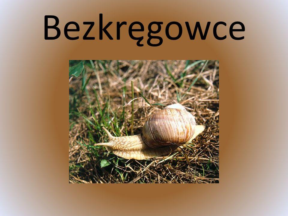 Bóbr europejski - gatunek ziemnowodnego gryzonia z rodziny bobrowatych.
