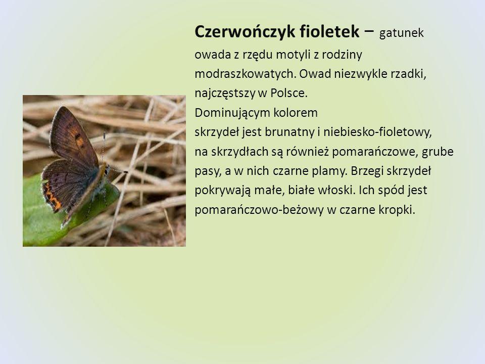 Czerwończyk fioletek gatunek owada z rzędu motyli z rodziny modraszkowatych. Owad niezwykle rzadki, najczęstszy w Polsce. Dominującym kolorem skrzydeł