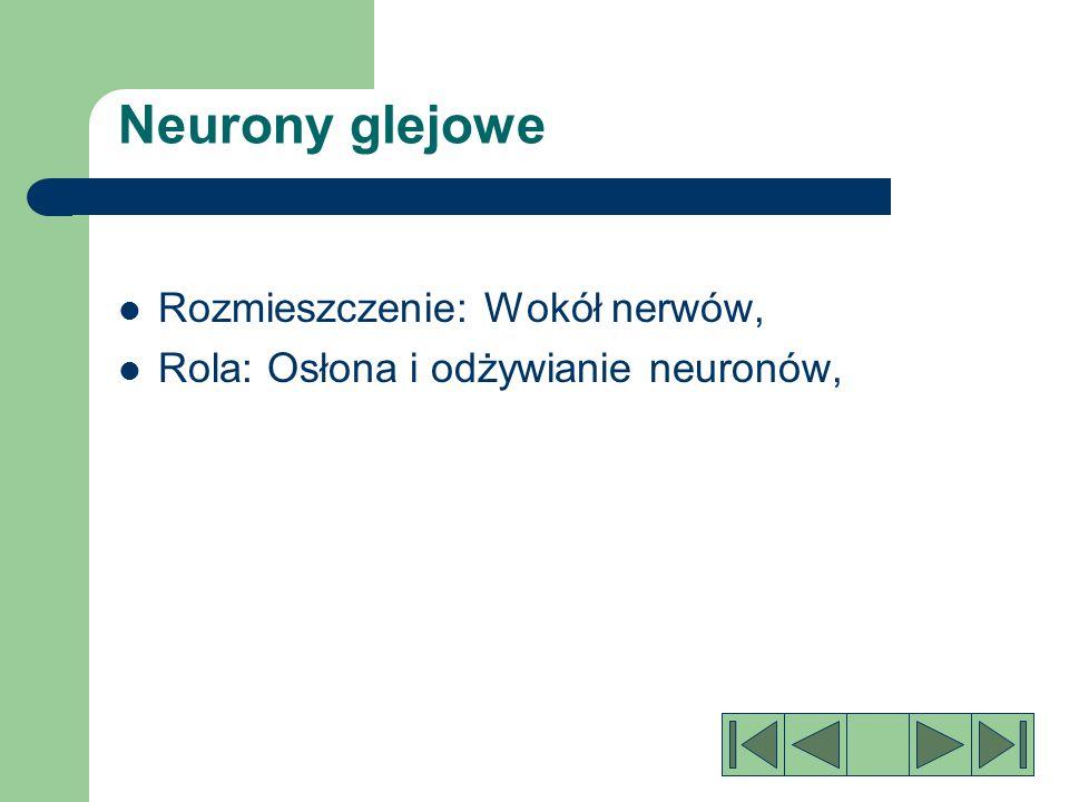 Neurony pośredniczące: Rozmieszczenie: mózg i rdzeń kręgowy.