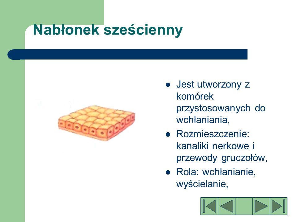 Nabłonek walcowaty Jest zbudowany z pojedynczych warstw komórek, Rozmieszczenie: przewód pokarmowy, odcinki wydzielnicze gruczołów, Rola: wyścielania wchłanianie, wydzielanie śluzu, enzymów trawiennych, hormonów.
