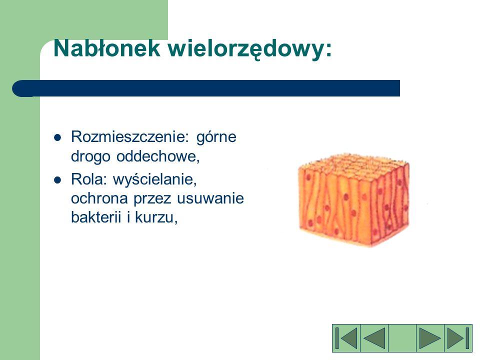 Nabłonek sześcienny Jest utworzony z komórek przystosowanych do wchłaniania, Rozmieszczenie: kanaliki nerkowe i przewody gruczołów, Rola: wchłanianie, wyścielanie,