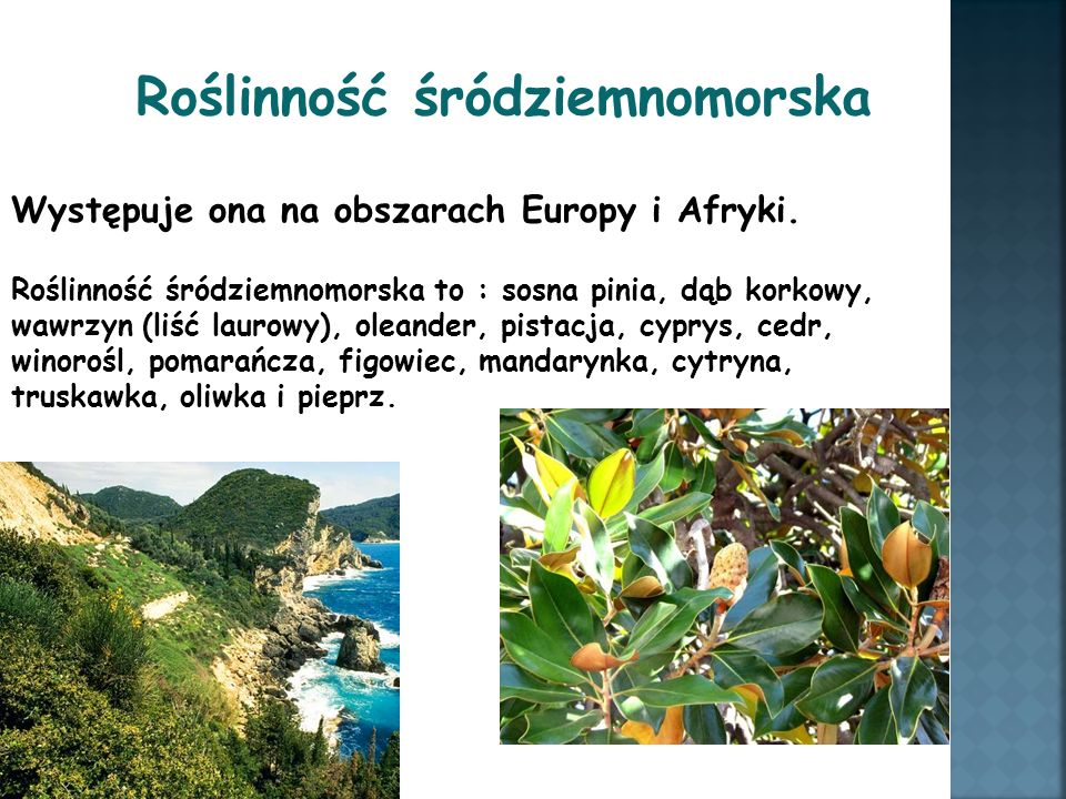Roślinność śródziemnomorska Występuje ona na obszarach Europy i Afryki. Roślinność śródziemnomorska to : sosna pinia, dąb korkowy, wawrzyn (liść lauro