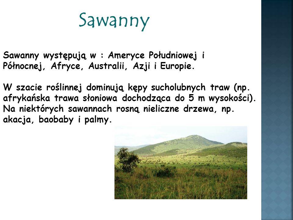 Sawanny Sawanny występują w : Ameryce Południowej i Północnej, Afryce, Australii, Azji i Europie. W szacie roślinnej dominują kępy sucholubnych traw (