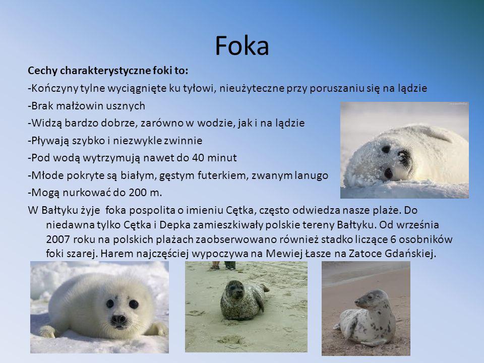 Lis polarny (piesiec) Żywi się ptakami (szczególnie ich pisklętami), małymi ssakami, jajami, rybami i padliną.