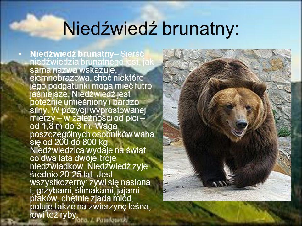 Niedźwiedź brunatny: Niedźwiedź brunatny– Sierść niedźwiedzia brunatnego jest, jak sama nazwa wskazuje, ciemnobrązowa, choć niektóre jego podgatunki m