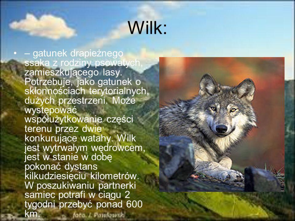 Wilk: – gatunek drapieżnego ssaka z rodziny psowatych, zamieszkującego lasy. Potrzebuje, jako gatunek o skłonnościach terytorialnych, dużych przestrze