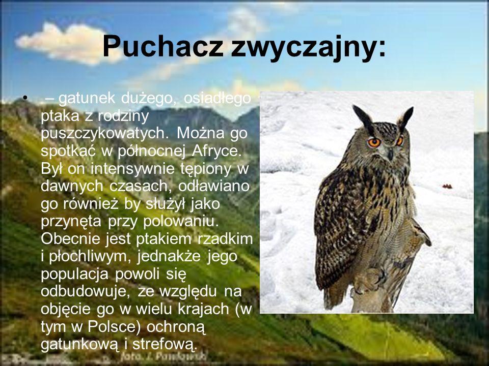 Puchacz zwyczajny: – gatunek dużego, osiadłego ptaka z rodziny puszczykowatych. Można go spotkać w północnej Afryce. Był on intensywnie tępiony w dawn