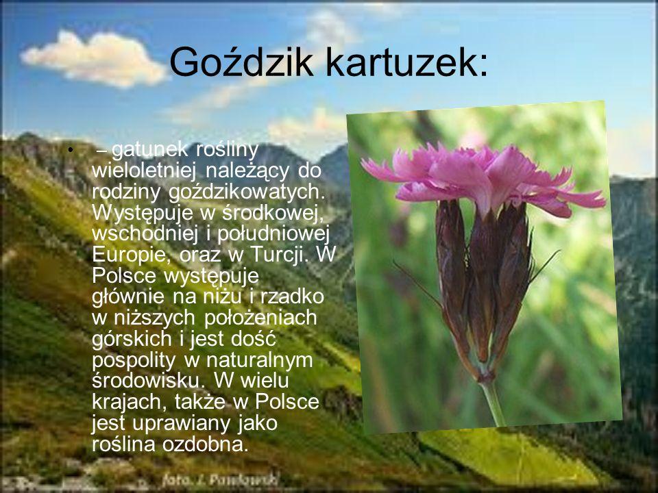 Goździk kartuzek: – gatunek rośliny wieloletniej należący do rodziny goździkowatych. Występuje w środkowej, wschodniej i południowej Europie, oraz w T