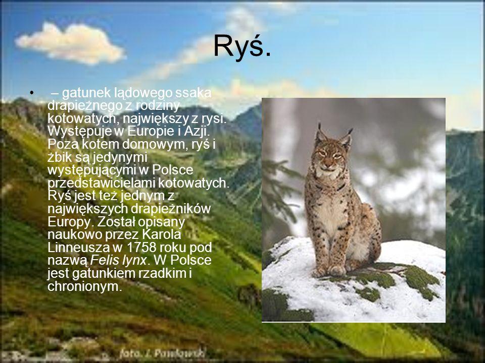Ryś. – gatunek lądowego ssaka drapieżnego z rodziny kotowatych, największy z rysi. Występuje w Europie i Azji. Poza kotem domowym, ryś i żbik są jedyn