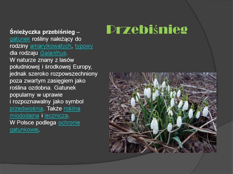 Śnieżyczka przebiśnieg – gatunek rośliny należący do rodziny amarylkowatych, typowy dla rodzaju Galanthus. W naturze znany z lasów południowej i środk