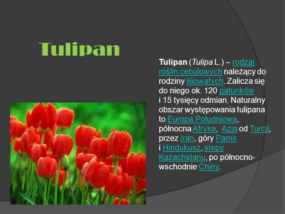 Tulipan (Tulipa L.) – rodzaj roślin cebulowych należący do rodziny liliowatych. Zalicza się do niego ok. 120 gatunków i 15 tysięcy odmian. Naturalny o
