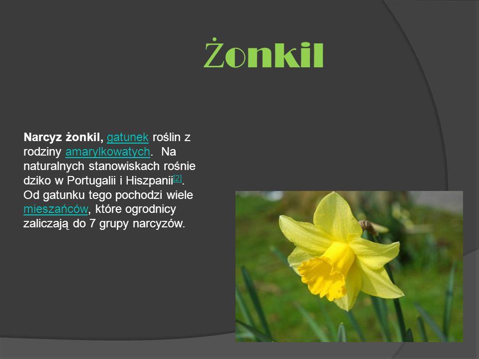 Narcyz żonkil, gatunek roślin z rodziny amarylkowatych. Na naturalnych stanowiskach rośnie dziko w Portugalii i Hiszpanii [2]. Od gatunku tego pochodz
