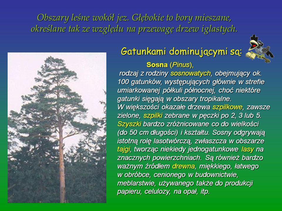 Obszary leśne wokół jez. Głębokie to bory mieszane, określane tak ze względu na przewagę drzew iglastych. Obszary leśne wokół jez. Głębokie to bory mi