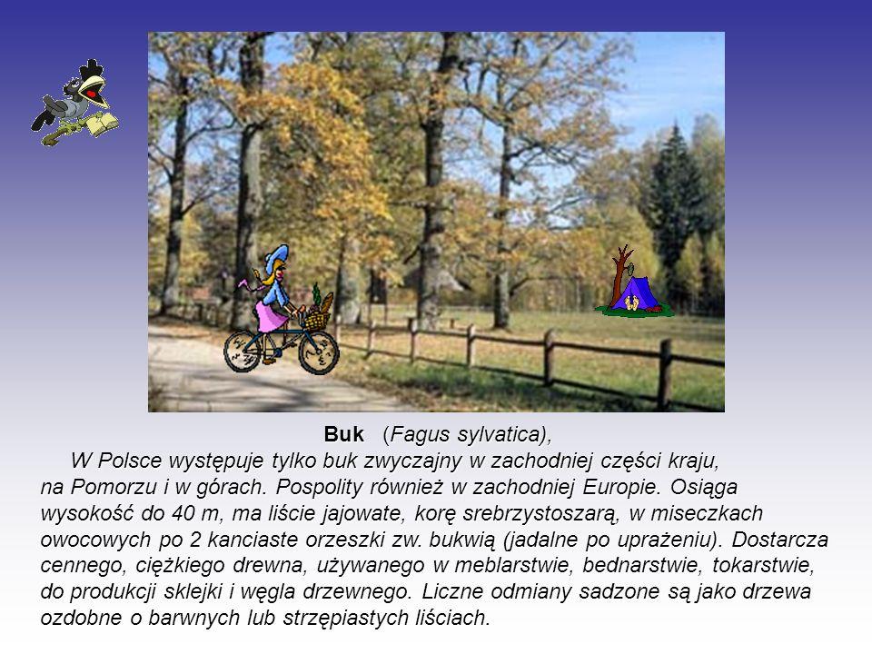 Buk (Fagus sylvatica), W Polsce występuje tylko buk zwyczajny w zachodniej części kraju, na Pomorzu i w górach. Pospolity również w zachodniej Europie