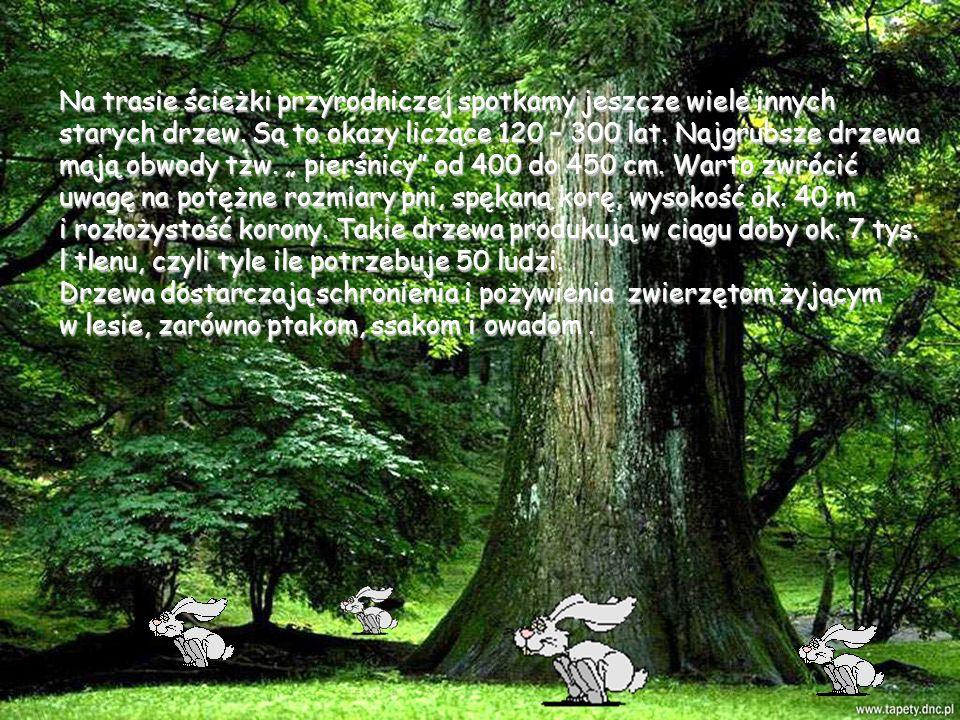 Na trasie ścieżki przyrodniczej spotkamy jeszcze wiele innych starych drzew. Są to okazy liczące 120 – 300 lat. Najgrubsze drzewa mają obwody tzw. pie