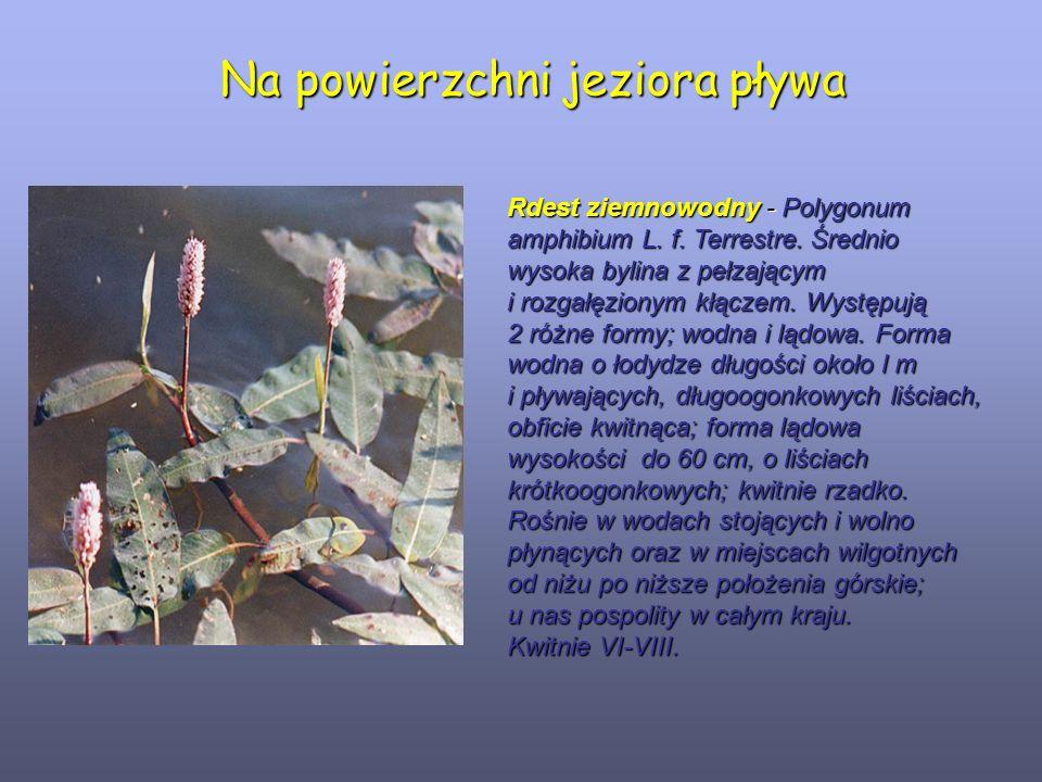 Na powierzchni jeziora pływa Rdest ziemnowodny - Polygonum amphibium L. f. Terrestre. Średnio wysoka bylina z pełzającym i rozgałęzionym kłączem. Wyst