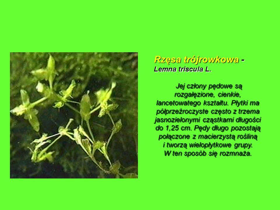 Rzęsa trójrowkowa - Lemna triscula L. Jej człony pędowe są rozgałęzione, cienkie, lancetowatego kształtu. Płytki ma półprzeźroczyste często z trzema j