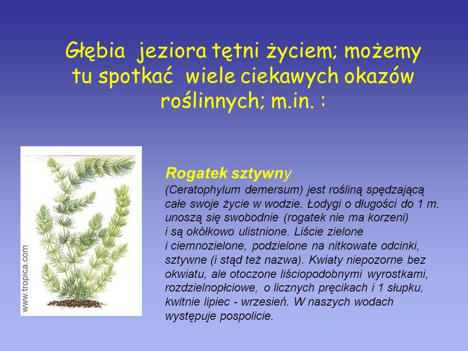Głębia jeziora tętni życiem; możemy tu spotkać wiele ciekawych okazów roślinnych; m.in. : Rogatek sztywny (Ceratophylum demersum) jest rośliną spędzaj
