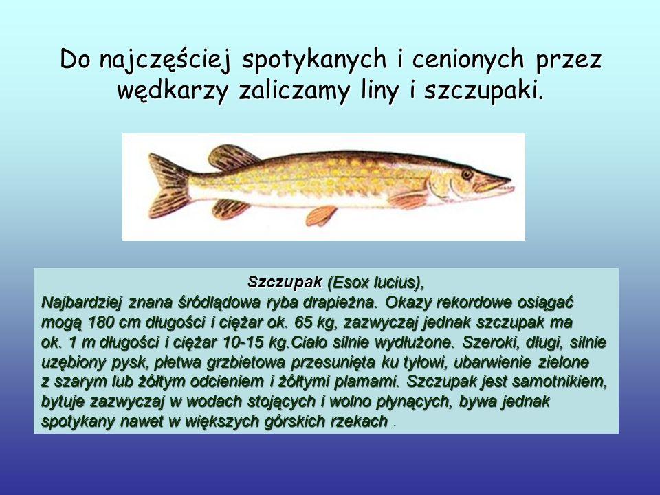 Do najczęściej spotykanych i cenionych przez wędkarzy zaliczamy liny i szczupaki. Szczupak (Esox lucius), Najbardziej znana śródlądowa ryba drapieżna.
