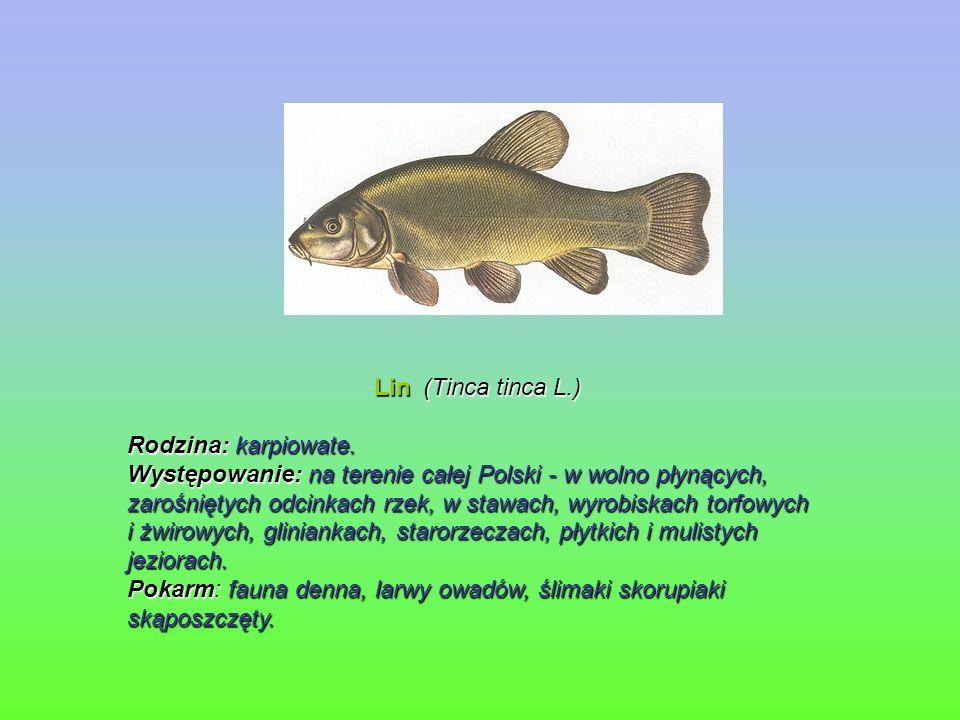 Lin (Tinca tinca L.) Lin (Tinca tinca L.) Rodzina: karpiowate. Występowanie: na terenie całej Polski - w wolno płynących, zarośniętych odcinkach rzek,
