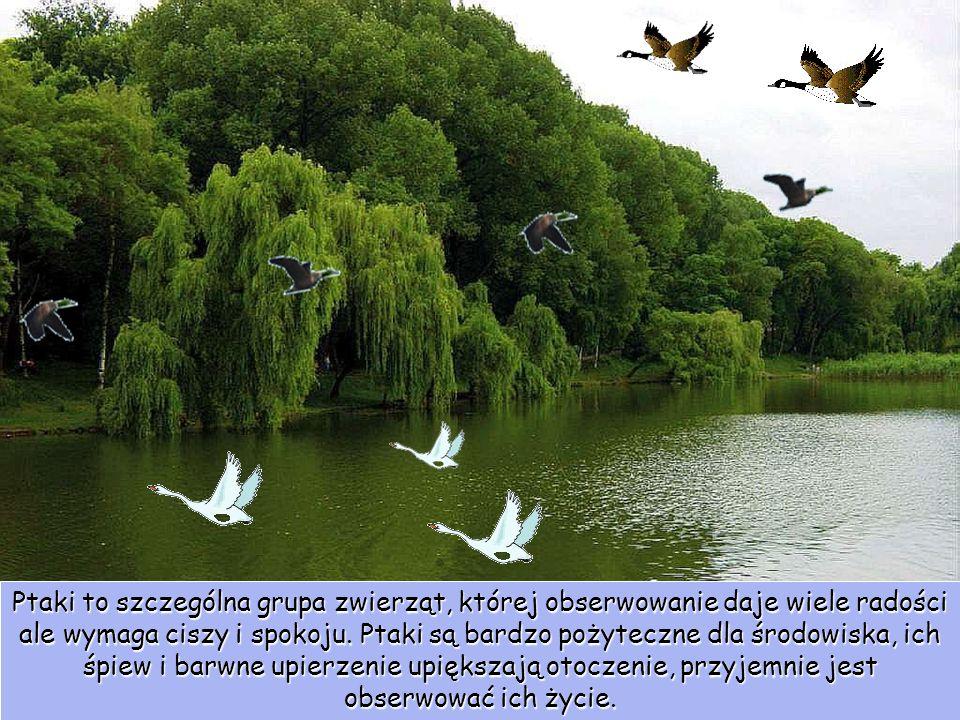 Ptaki to szczególna grupa zwierząt, której obserwowanie daje wiele radości ale wymaga ciszy i spokoju. Ptaki są bardzo pożyteczne dla środowiska, ich