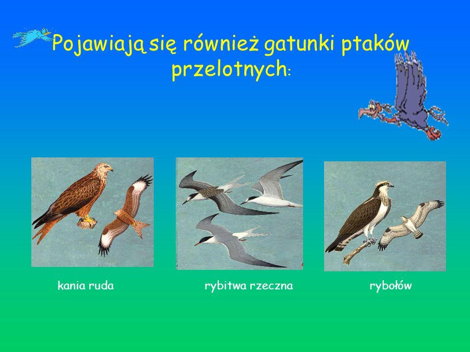 Pojawiają się również gatunki ptaków przelotnych : kania ruda rybitwa rzeczna rybołów