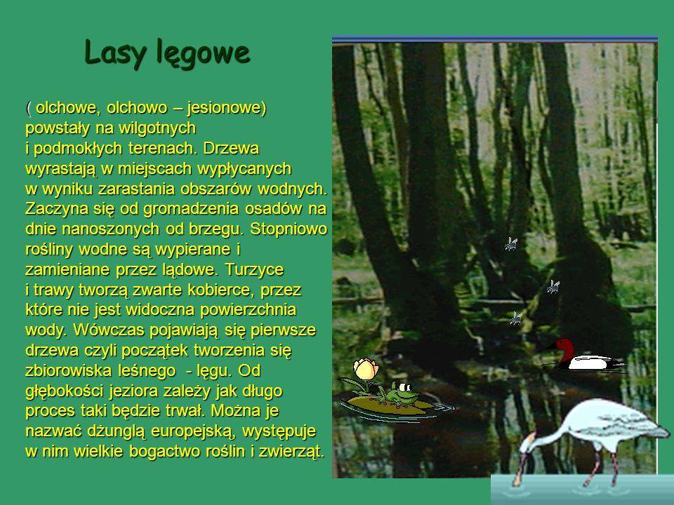 Lasy lęgowe ( olchowe, olchowo – jesionowe) powstały na wilgotnych i podmokłych terenach. Drzewa wyrastają w miejscach wypłycanych w wyniku zarastania