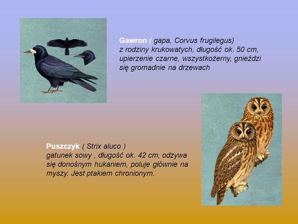 Gawron ( gapa, Corvus frugilegus) z rodziny krukowatych, długość ok. 50 cm, upierzenie czarne, wszystkożerny, gnieździ się gromadnie na drzewach Puszc