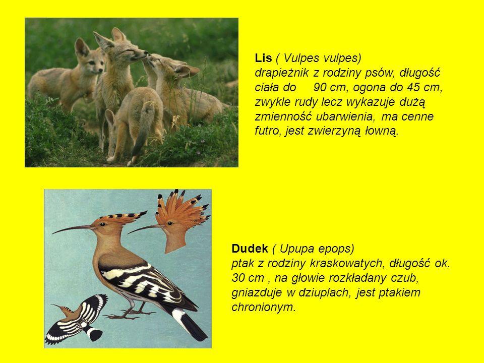 Lis ( Vulpes vulpes) drapieżnik z rodziny psów, długość ciała do 90 cm, ogona do 45 cm, zwykle rudy lecz wykazuje dużą zmienność ubarwienia, ma cenne