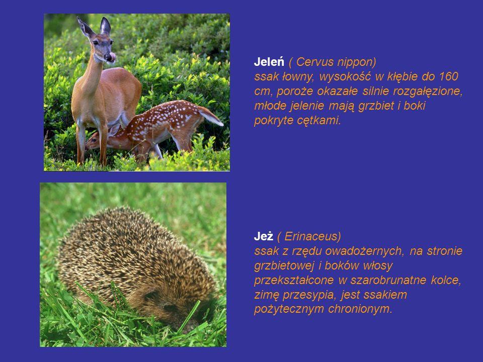 Jeleń ( Cervus nippon) ssak łowny, wysokość w kłębie do 160 cm, poroże okazałe silnie rozgałęzione, młode jelenie mają grzbiet i boki pokryte cętkami.