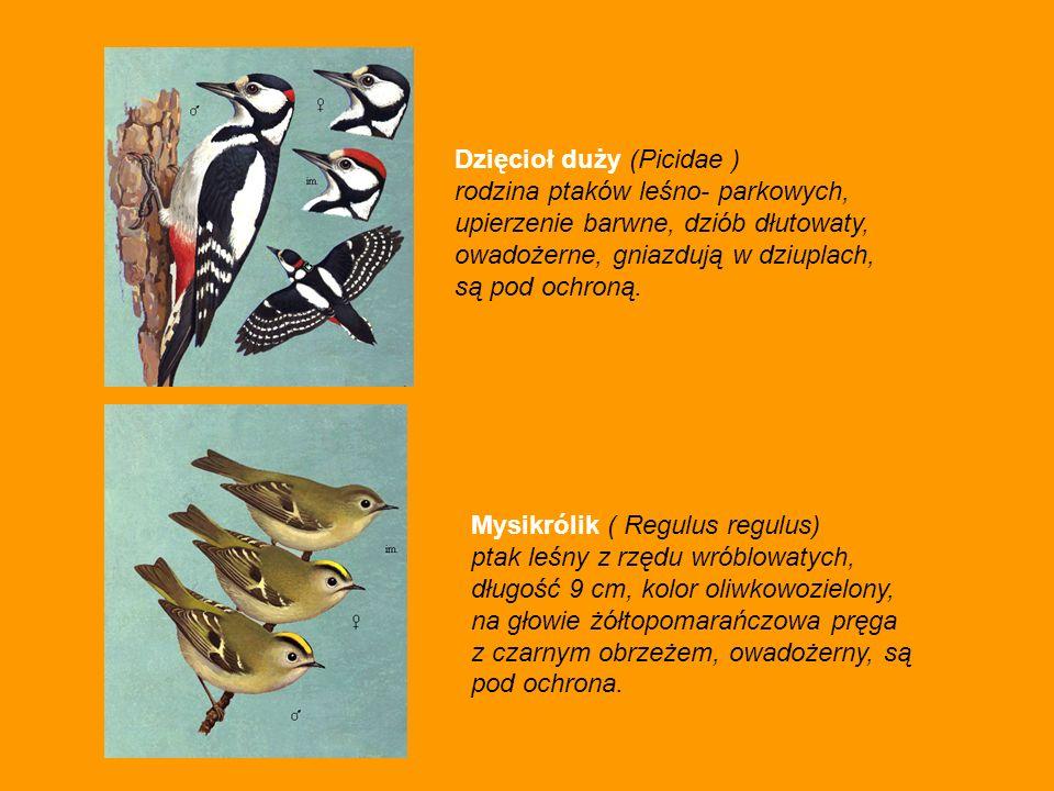 Dzięcioł duży (Picidae ) rodzina ptaków leśno- parkowych, upierzenie barwne, dziób dłutowaty, owadożerne, gniazdują w dziuplach, są pod ochroną. Mysik