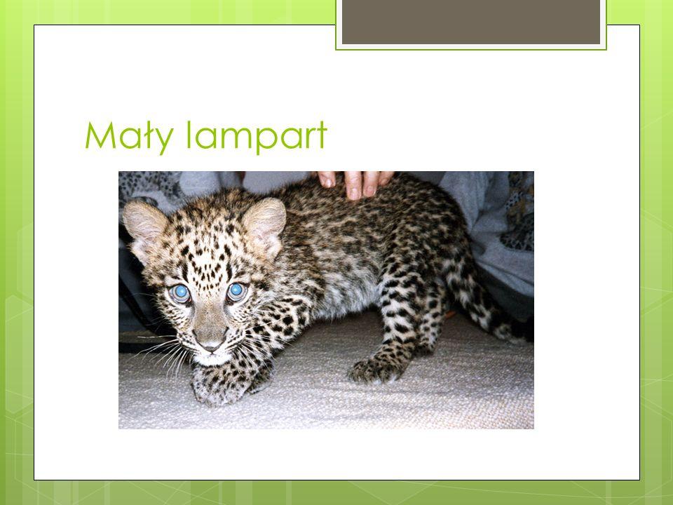 Tryb życia Lamparty charakteryzują się niebywałą zwinnością i siłą, Potrafią wykonywać 6-8-metrowe skoki, W polowaniu za zwierzyną są bardzo zwinne, P